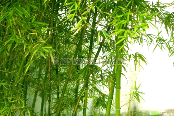 Biljka s nevjerovatnim osobinama - ECO- friendly bambus